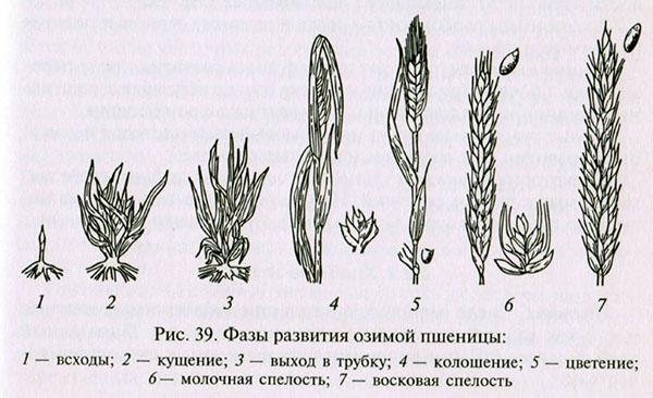 фазы развития озимой пшеницы
