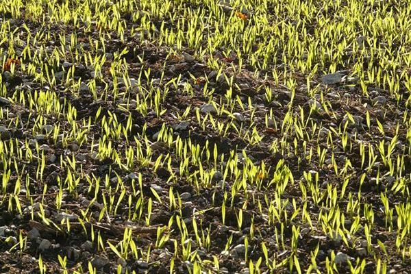 весеннее возобновление вегетации озимой пшеницы