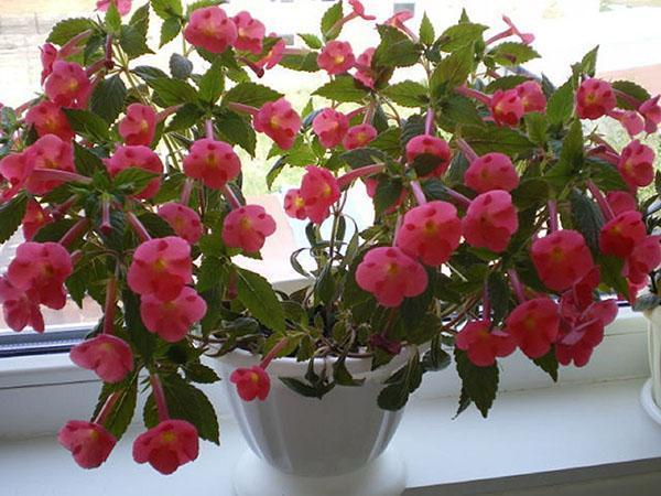 пышное цветение ахименесов