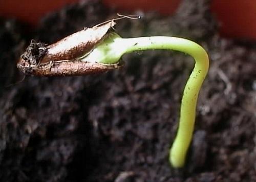 росток из косточки
