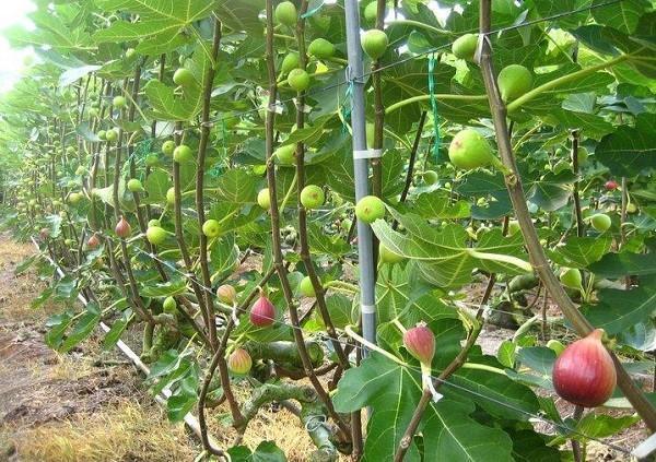 шпалерное выращивание инжира