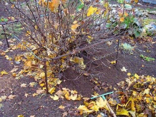 смородина осенью