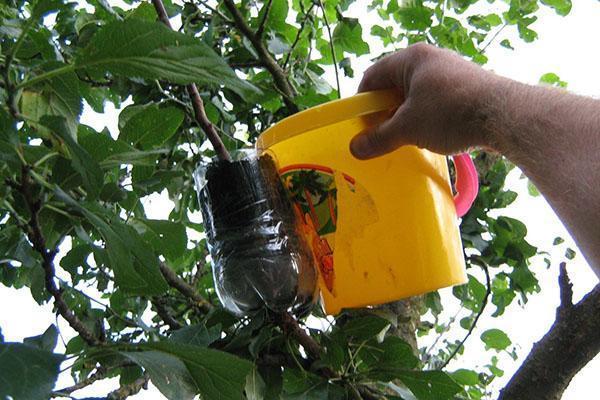 способ размножения плодовых деревьев