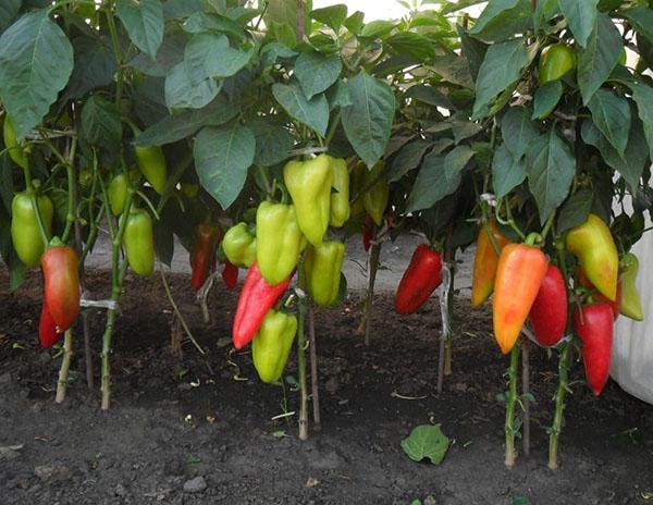 урожай перца болгарского