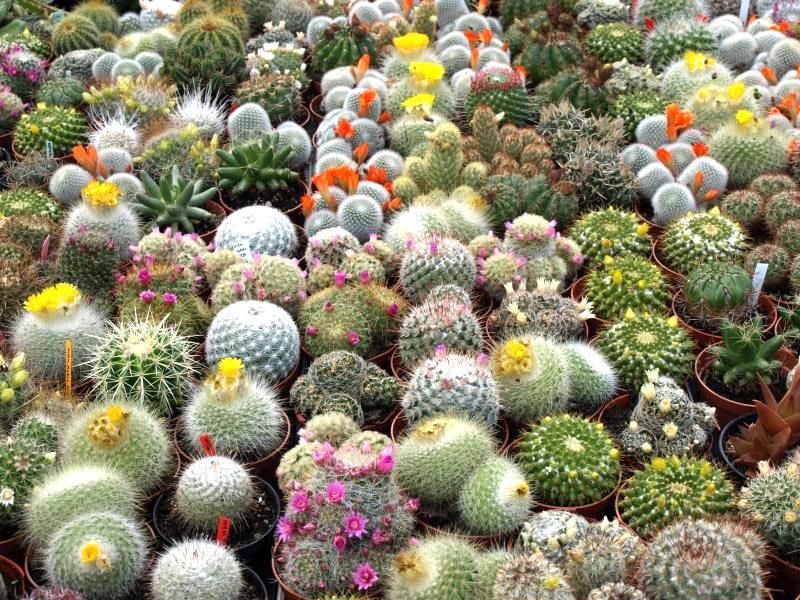 распространенные в Европе виды кактусов