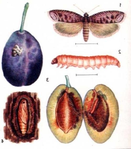 этапы развития плодожерки