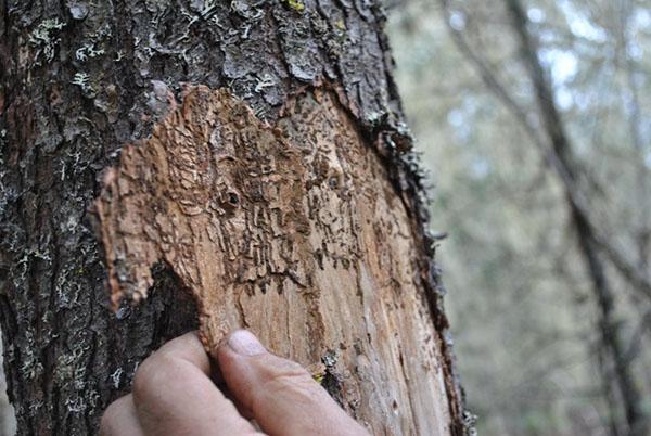 дерево поражено жуком короедом