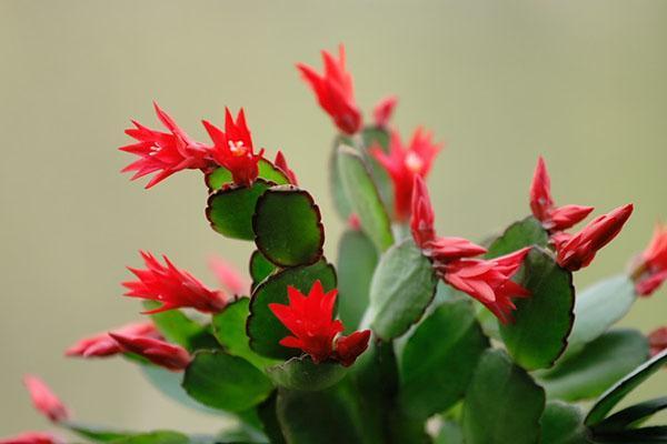 цветет зигокактус