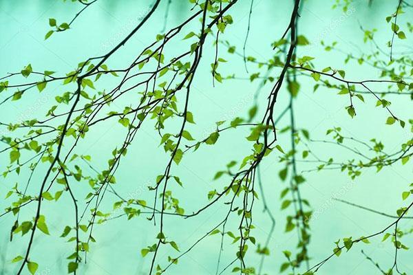 береза ранней весной