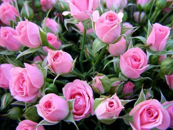нежные розы для букета