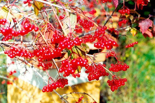 спелые плоды калины красной