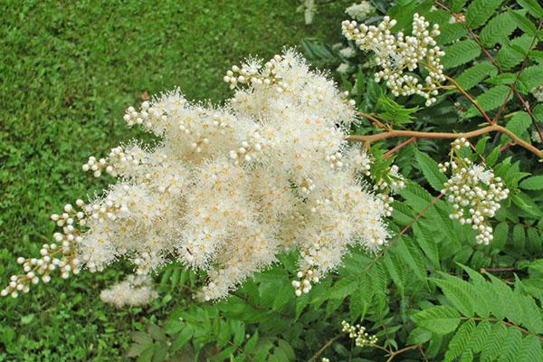 пушистые ароматные соцветия