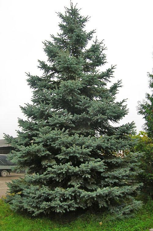 высокое дерево