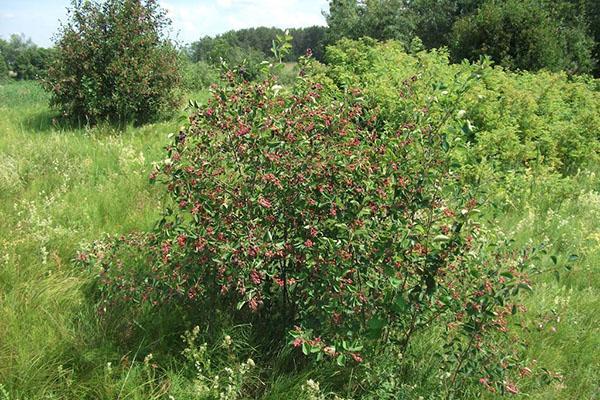 кустарник полезной ягоды ирга