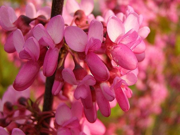 яркие цветы иудино дерева