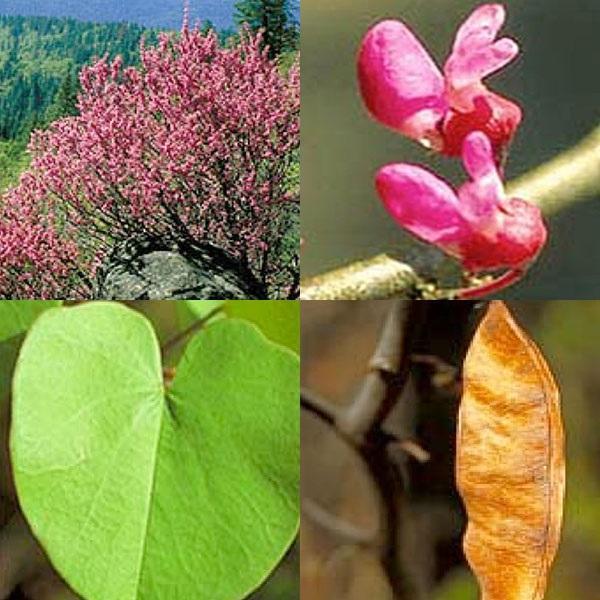 иудино дерево, цветение, листья, крона