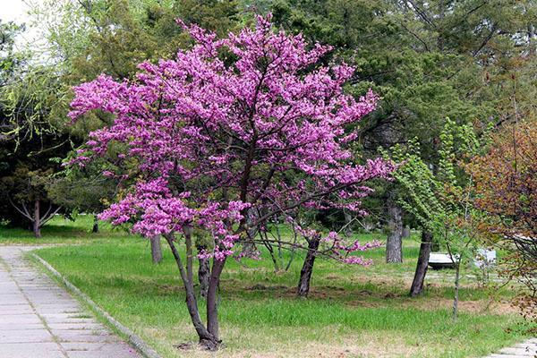 иудино дерево в парке