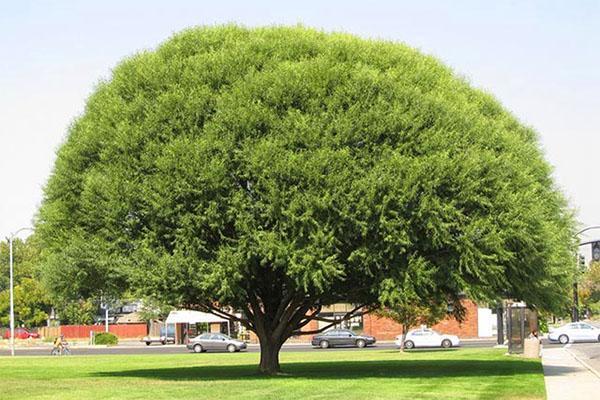 взрослое дерево ива Матсудана