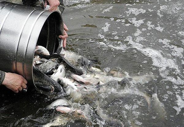 запуск рыбы после известкования