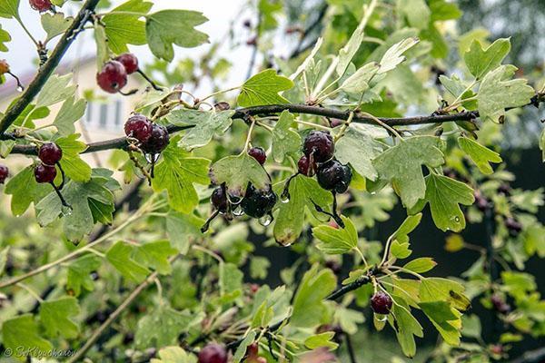 ажурные листья и крупные плоды