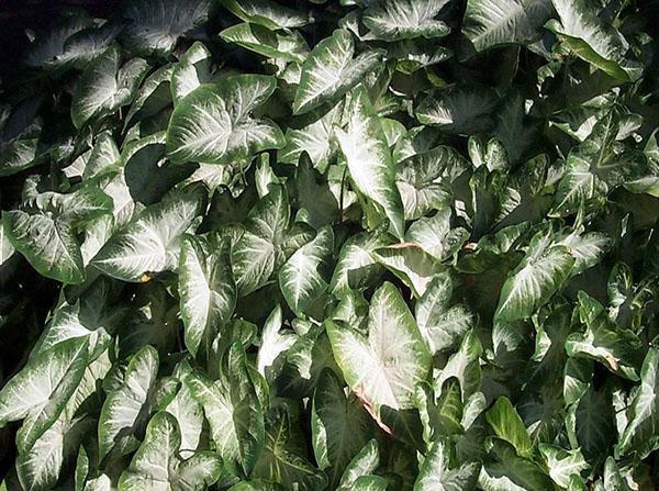 листья с серебренным отливом