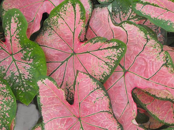 каладиум с розовой листвой
