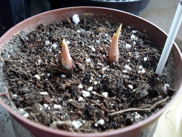 проращивание клубней каладиума