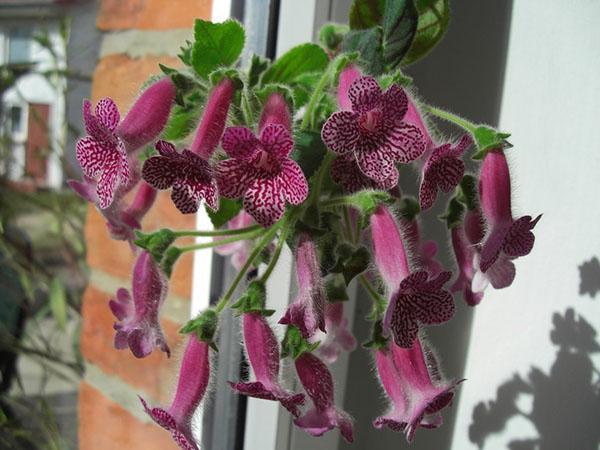 цветок калерия из семян