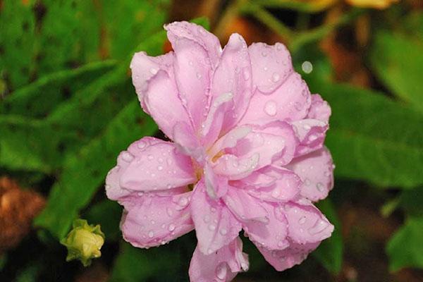 нежный цветок калистегии