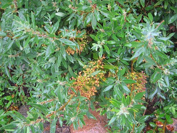 многолетний кустарник кальмия