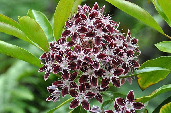 зонтиковидные соцветия кальмии