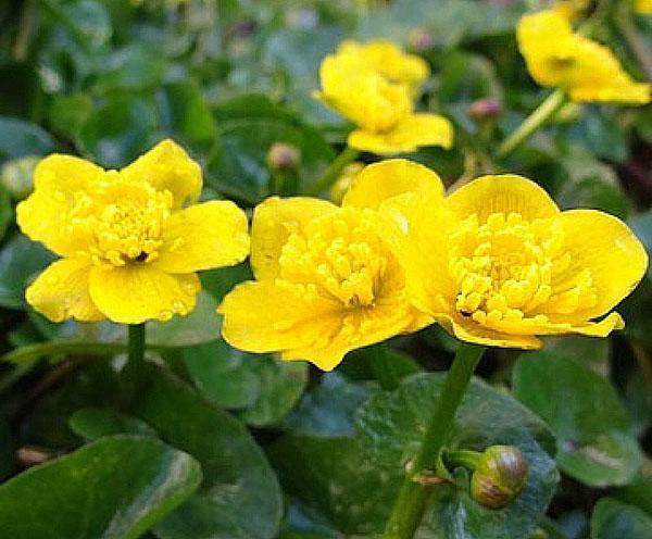 яркие цветы калужницы болотной