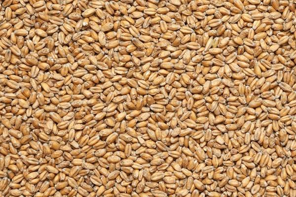 чистая пшеница для проращивания