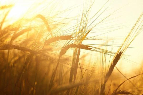 хороший урожай пшеницы