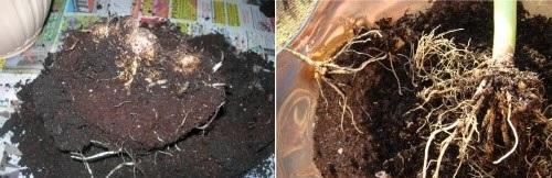 калла клубневая и корневищная