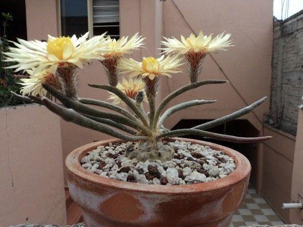 красивый кактус