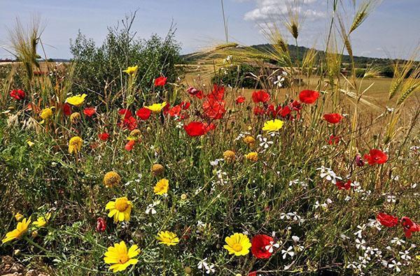 Луговые цветы - фото и названия желтых, синих, фиолетовых полевых ...