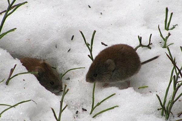 мыши зимой в цветнике