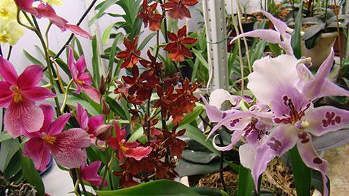 орхидея камбрия во всей красе