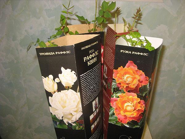 розы из коробки необходимо срочно посадить