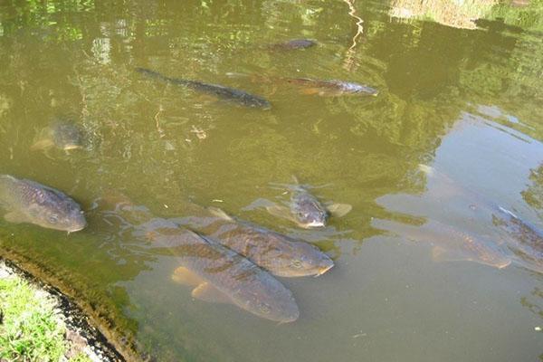 рыба в пруду на даче
