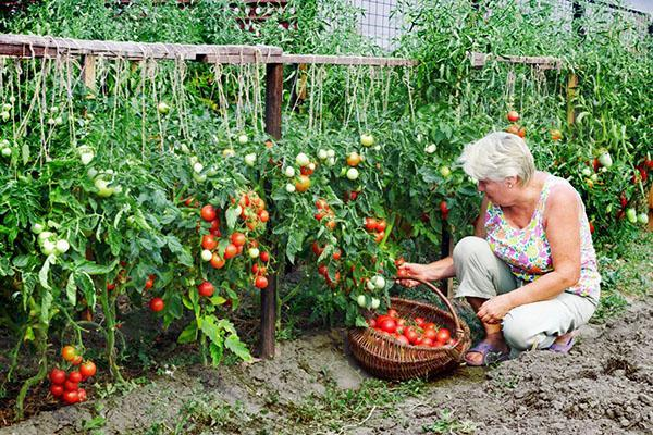 сбор урожая помидор