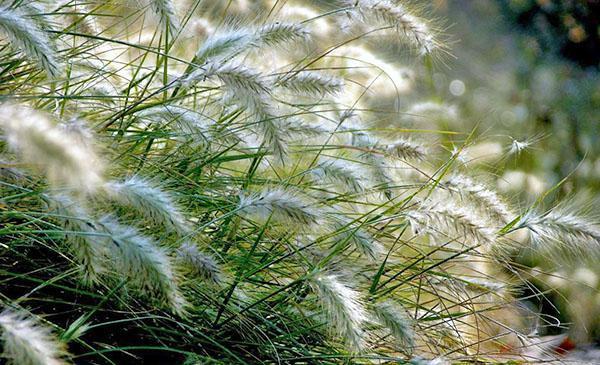 злаковые растения