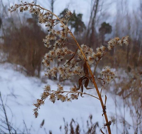семена золотарника