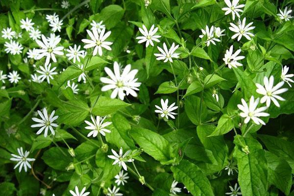 Звездчатка обыкновенная основные особенности растения