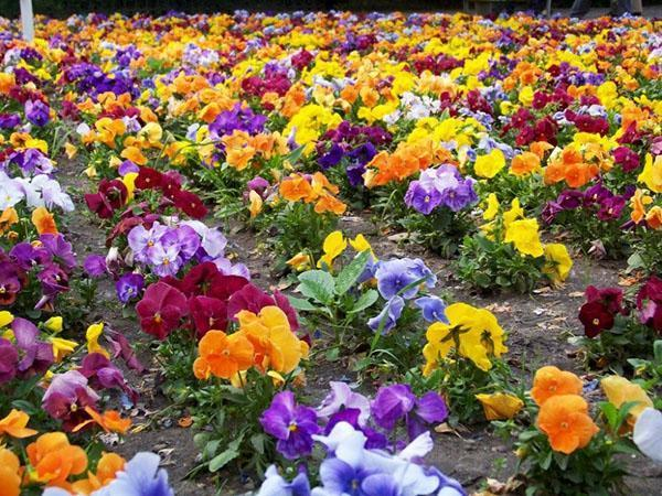 садовый ковер из цветущих анютиных глазков