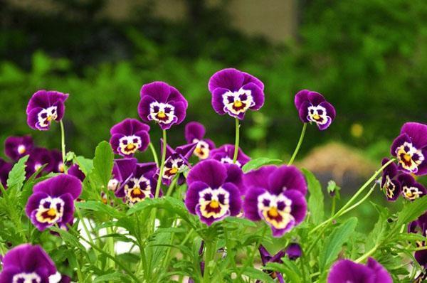 цветут высокорослые анютины глазки