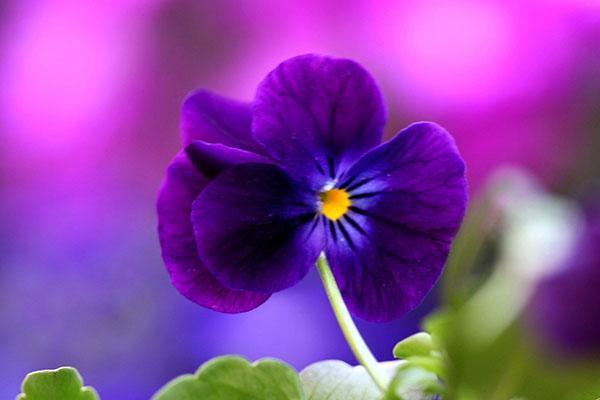 анютины глазки период цветения