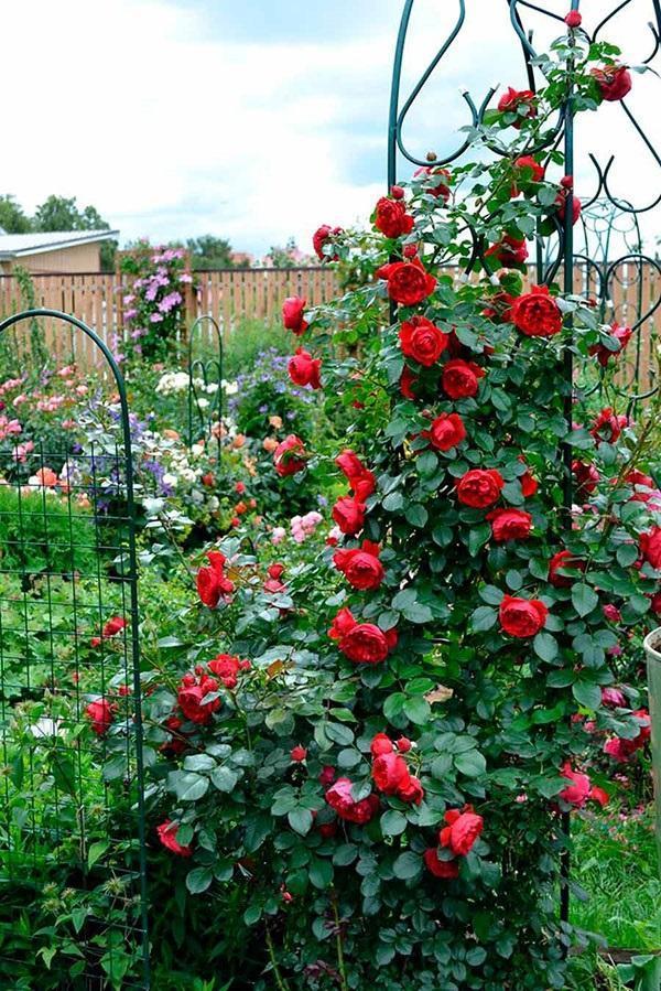 красная роза на арке