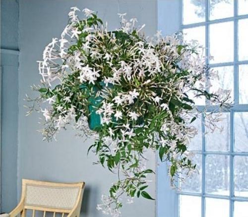 цветущий полиантум